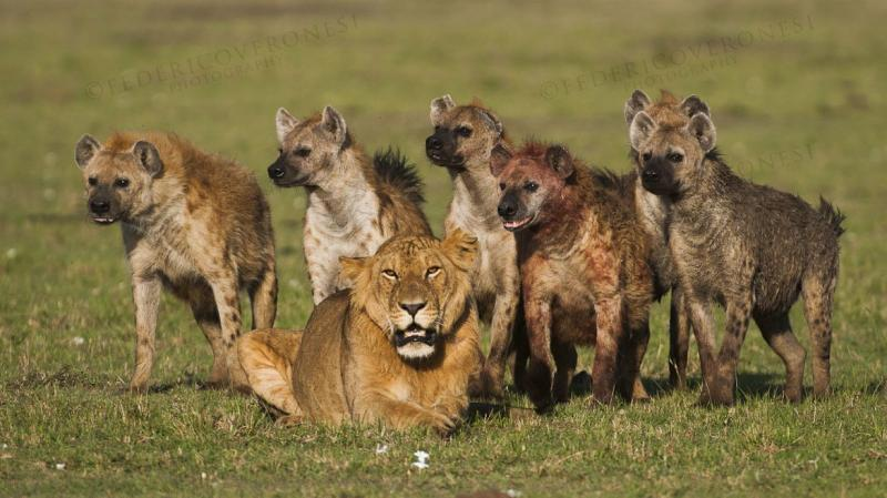 LION AND HYENAS